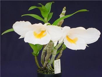 Formosum Orchidaceae