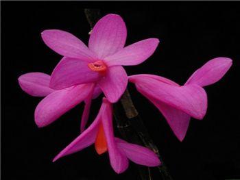 Glomeratum Orchidaceae