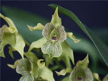 Macrophyllum Orchidaceae