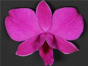 Madame Pompadour Orchidaceae