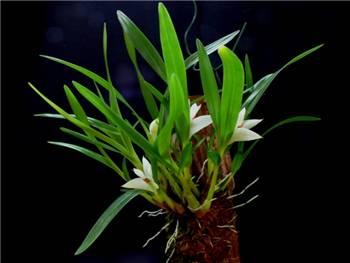 Pentapterum Orchidaceae