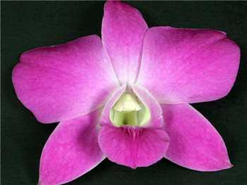 Queen Pink Orchidaceae