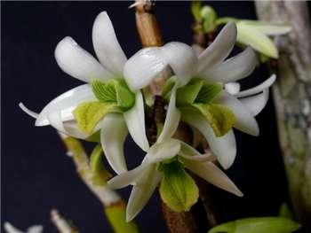 Scabrilingue Orchidaceae