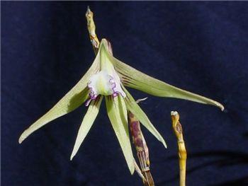 Schoeninum Orchidaceae