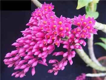 Secundum Orchidaceae