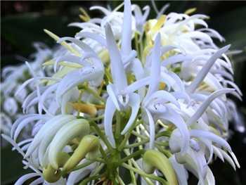 Speciosum Orchidaceae