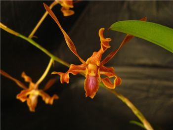Tangerinum Orchidaceae