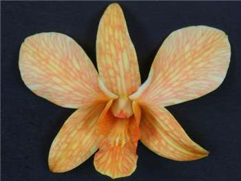 White Dyed Orange Orchidaceae