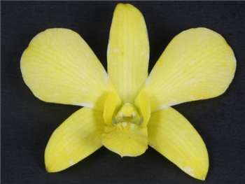 White Dyed Yellow Orchidaceae