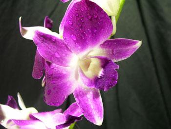 Bom Joy Orchids - Dendromium