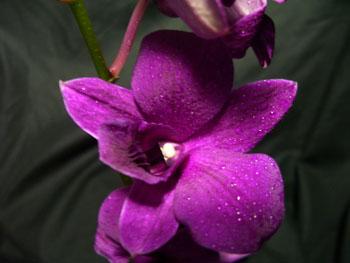 Bom Purple Orchids - Dendromium