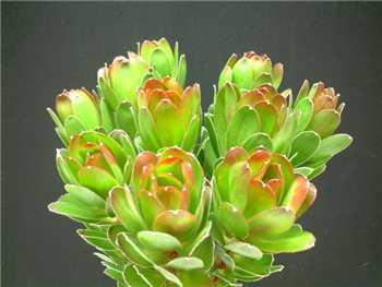 Goblet Proteaceae