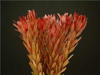 Jester Proteaceae