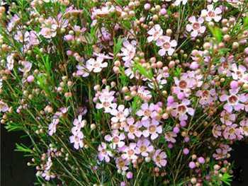 Catalina Apocynaceae