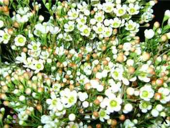 Denmark Apocynaceae