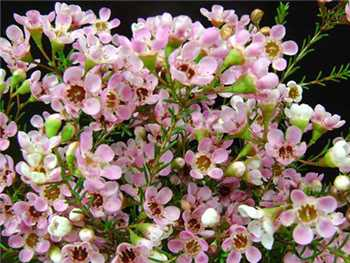 Pink Gem Apocynaceae