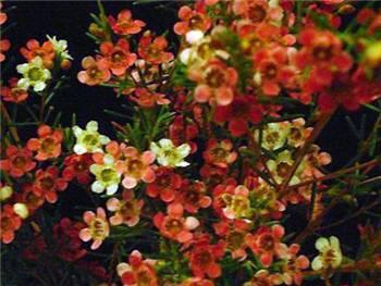 Sweet Sixteen Apocynaceae