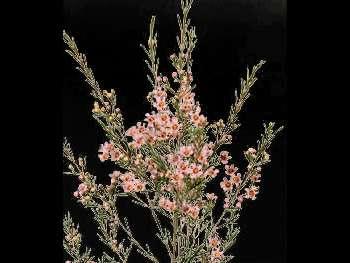 Wendy Rose HFC Apocynaceae