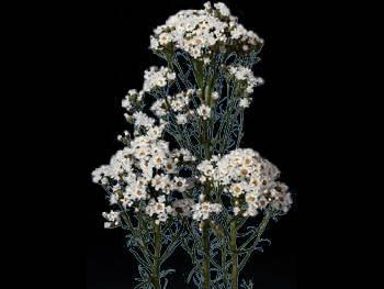 Australian Daisy Asteraceae