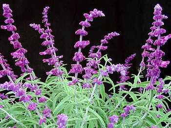 Sage Lamiaceae