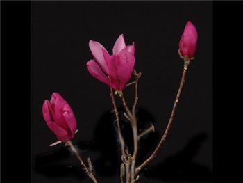 Tulip Magnolia Magnoliaceae