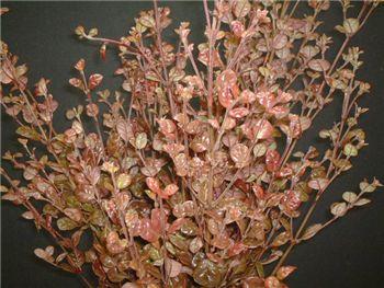 Kathryn Myrtaceae
