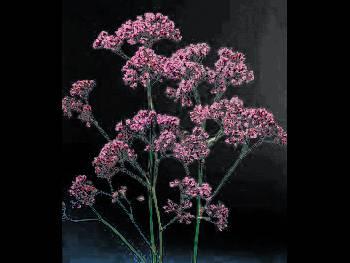 Sea Lavendar Plumbaginaceae