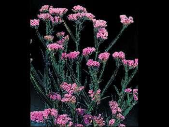 Sinuata Pink Plumbaginaceae