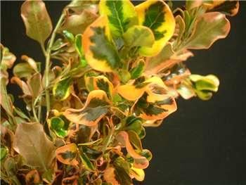 Painters Pallette Rubiaceae