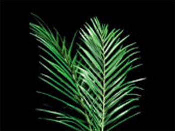 Areca Palm Arecaceae