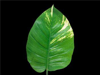 Pothos Arecaceae
