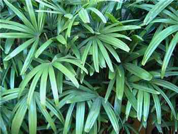 Rhapis Arecaceae