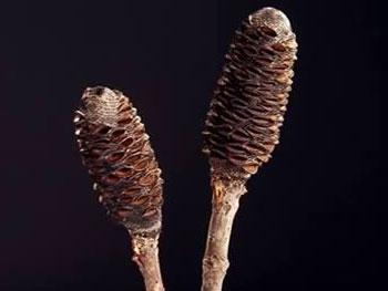 Banksia Sticks Australia