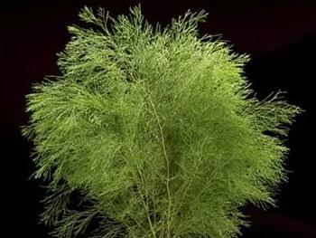 Bribie Pine Australia