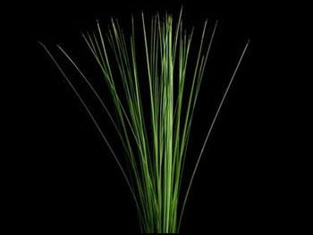 Steel Grass Australia