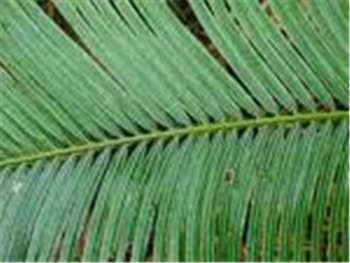 Queen Sago Cycadaceae