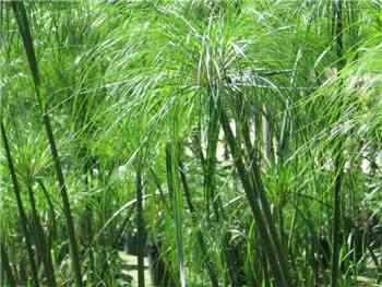 Papyrus Cyperaceae