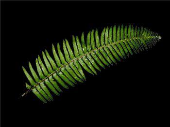 Sword Fern Dryopteridaceae