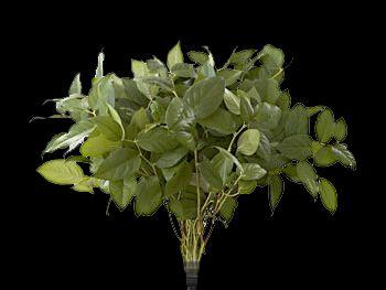 Salal Ericaceae