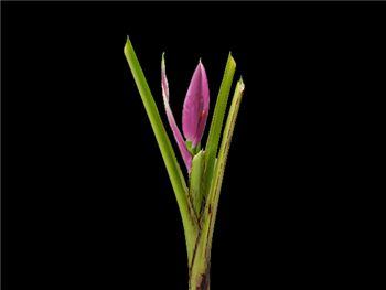Lavender Flower Musaceae