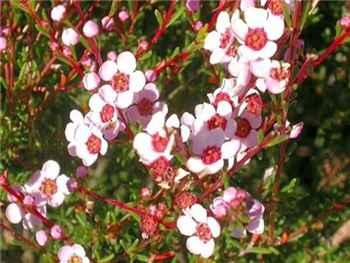 Winter Pink Myrtaceae
