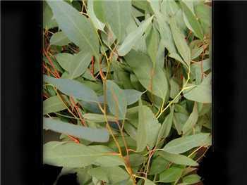 Diamond Eucalyptus Myrtaceae