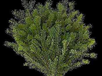 Douglas Fir Pinaceae