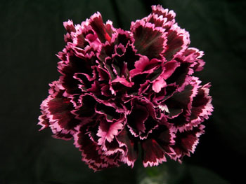 Safarisunset Flowers on Nobbio Violet Carnation Sold By