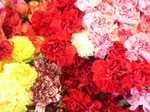 Assorted Carnation