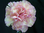 Bubble Gum Carnation
