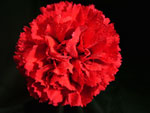 Nelson Red Carnation