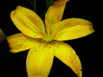 Cardiff Lilly-Asiatic