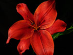 Monte Negro Lilly-Asiatic