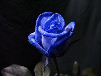 Died Blue Vendela Rose